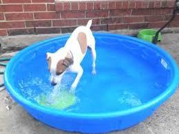 0148 Jack Russell Terrier Vs Frisbee Inside The Kiddie Pool