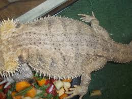Bearded Dragon Shedding Process by Hige Tales U2022 Bearded Dragon Org