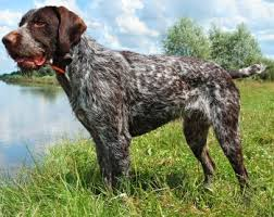 german shorthaired pointer shed german wirehaired pointers what s and bad about em