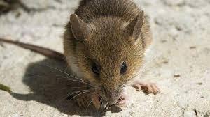 comment repousser les souris naturellement voici 3 astuces qui