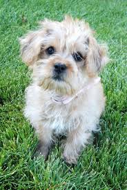 100 do yorkie poos shed hair mixed breed dogs the 13 cutest