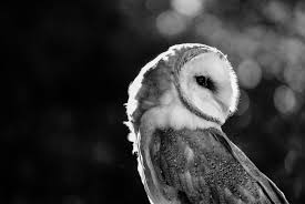 Gray Scale Barn Owl Free Image | Peakpx Black Barn Owl Oc Eclipse By Pkhound On Deviantart Closeup Of A Stock Photo 513118776 Istock Birds Of The World Owls This Galapagos Barn Owl Lives With Its Mate A Shelf In The Started Black Paper Today Ref Paul Isolated On Night Stock Photo 296043887 Shutterstock Stu232 Flickr Bird 6961704 Moonlit Buttercups Moth Necklace Background Image 57132270 Sd Falconry Mod Eye Moody