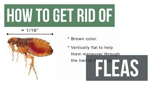 Homemade Flea Powder For Carpet by How To Get Rid Of Fleas Diy Flea Control Youtube