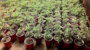 tutoriel pour faire pousser de la marijuana en exterieur les