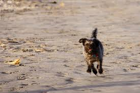 Non Shedding Hypoallergenic Dogs List by 22 Breeds Of Small Hypoallergenic Dogs U2013 Stat Scripts