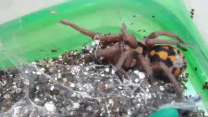Pumpkin Patch Tarantula Bite by Hapalopus Sp Colombia Lg Youtube