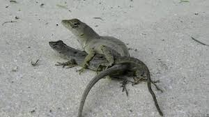 CAUGHT TWO LIZARDS MATING - YouTube The Insect Diet Of Alabama Lizards Turtle And Tortoise San Diego Zoo Animals Plants Reptiles Backyard Beyond Page 3 110 Best Photography Reptiles Amphibians Images On Pinterest Uerstanding The Diverse Diets Mountain Dragon In Here Be Dragons Youtube Jj Collett List Washington State Wikipedia