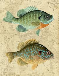 Pumpkin Seed Sunfish Pictures by Bluegill And Pumpkinseed Sunfish With Vintage Style Map Background