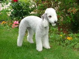 What Kind Of Dogs Shed The Most by Bedlington Terrier Wikipedia