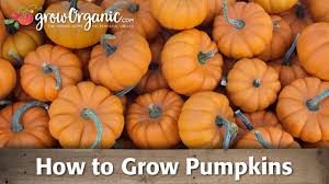 Keep Pumpkins From Rotting On Vine by How To Grow Pumpkins Youtube