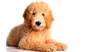 Hypoallergenic Dog Breeds That Dont Shed goldendoodle breed information