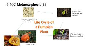 Life Cycle Of A Pumpkin Seed Worksheet by Science Nb 5th Grade Ppt Download