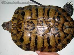 Turtle Shell Not Shedding by Turtle Fact 8 Changing Shell Color Underneath The Shell