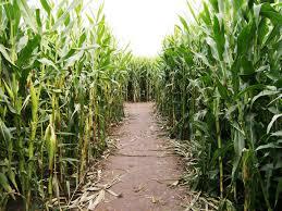 Petaluma Pumpkin Patch Corn Maze Map by Halloween Fun In Petaluma