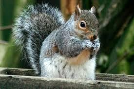 grey squirrels rhs gardening