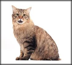 bobtail cat who s that cat 12 reasons to the american bobtail catster