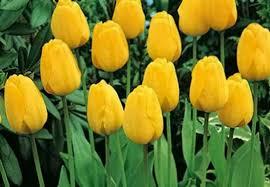 golden apeldoorn tulip garden tulip bulbs