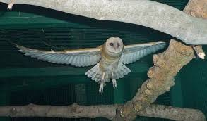 Barn Owl 584 Best Barn Owl Images On Pinterest Barn Owls Children And Great Horned Owl Wikipedia World Bird Sanctuary Growing Up Around Goblin Best 25 Ideas Beautiful Owls In The Stairwell At Work Whooo Loves Friends Of Texas Wildlife How To Find And Identify Owl In Nj Audubon Ebird What Do Eat Free Cutandpaste Activity Both Color Migrating Bats May Be Resting Not Sick Says Uc Bat Expert Iowa Rate This Amazing Photo That Ebony Brown Entered Flamboyant