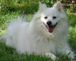American Eskimo Shedding Problem by Cool Miniature American Eskimo Puppies Dog Breeds Puppies