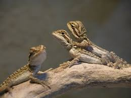 Bearded Dragon Heat Lamp Went Out by 192 Best Bearded Dragon Images On Pinterest Amphibians Bearded