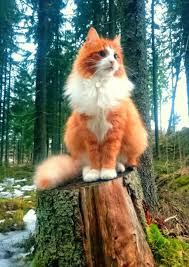 forest cat vs maine coon maine coon adorable animals maine coon cat and animal