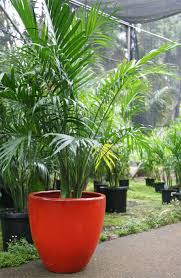 golden palm in pots palm trees and cycads
