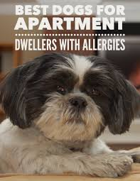 Hypoallergenic Shed Free Dogs by Best Dog Breeds For Apartments U0026 Allergies Dog Breeds Allergies