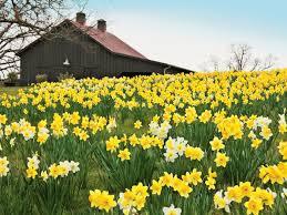 planting daffodils southern living