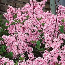 josee reblooming lilac hedge michigan bulb