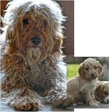 Do F2 Cockapoos Shed by 44 Best Grooming Cockapoos Images On Pinterest Cockapoo Grooming