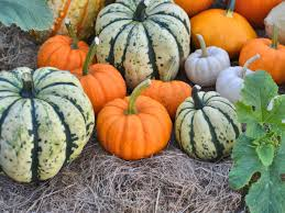 Natural Fertilizer For Pumpkins by How To Grow Pumpkins Sunset