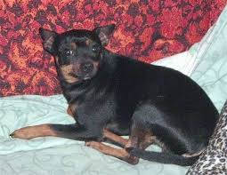 american rat pinscher dog breed information and pictures