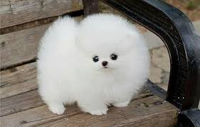 Dog Breeds That Dont Shed List by Cutest Teacup Dog Breeds That Don U0027t Shed Dog Breeds Puppies