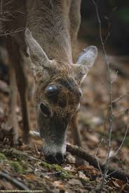 Does Deer Shed Their Antlers by Whitetail Deer Antler Growth Process Legendary Whitetails