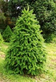Which Christmas Tree Smells The Best Uk by What U0027s The Best Real Christmas Tree Stuff Co Nz