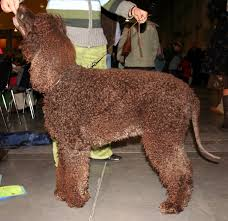 Non Shedding Small Dogs Australia by What Is The Difference Between The Australian Labradoodle And The