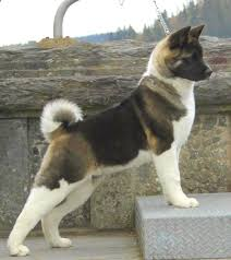 Do Akitas Shed Bad by 503 Best My Favorite Dogs Images On Pinterest Akita Dog