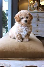 Do Miniature Aussiedoodle Shed by 465 Best Dogs Images On Pinterest Animals Puppy Love And Dog