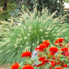 Best Ornamental Grasses for Midwest Gardens