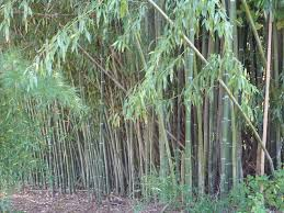 Bamboo ordinance could tar invasive plant species
