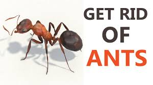 10 Best Home reme s to Get Rid of Ants