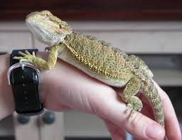 Bearded Dragon Shedding A Lot by 13 Bearded Dragon Shedding A Lot Bearded Dragon Growth From