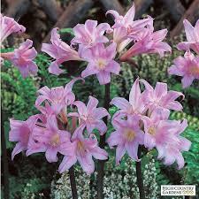 amaryllis high country gardens