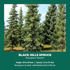 Christmas Tree Seedlings by Tree Seedling Giveaways Species Information And Planting