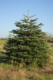 10ft Christmas Tree Canada by Wrentham Christmas Trees