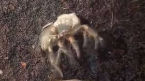 Tarantula Shedding Skin Time Lapse by This Footage Of A Tarantula Shedding Its Skin Is Awesome But Will