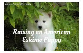 raising an american eskimo puppy dog breed training animal bliss