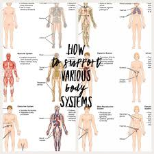 The Body Systems And How To Support Them Behcetsfighter