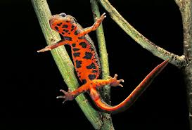 Are Christmas Trees Poisonous To Dogs by Are Fire Bellied Newts Poisonous