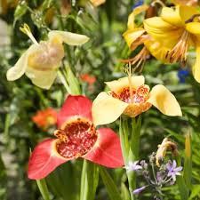 tigridia ferraria mix bulbs 2018